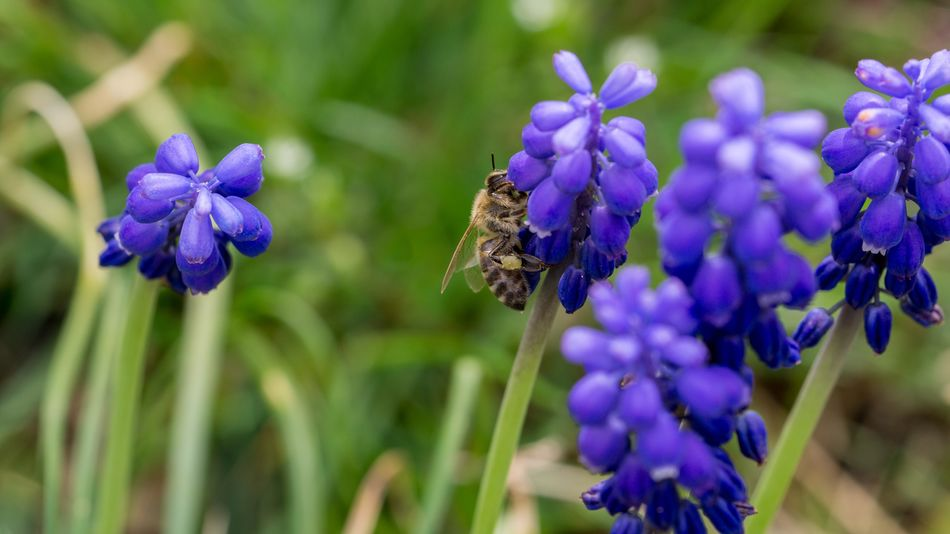 Frühling Bee Biene Macro Makro SEL90M28G Sony A6000 Flower Flowering Plant Purple Plant Fragility Insect Invertebrate Beauty In Nature Animal Themes Petal Animal Wildlife Vulnerability  Animals In The Wild Close-up Animal Freshness One Animal Flower Head Growth Inflorescence
