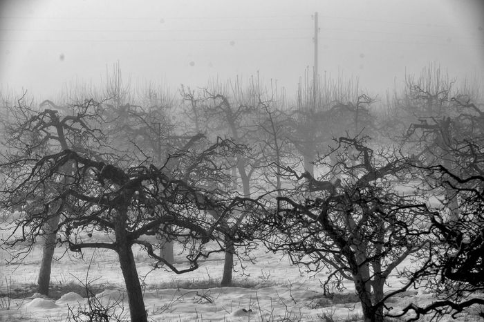 winter in an apple orchard Apple Orchard Morning Winter Beauty In Nature Cold Cold Temperature Day Fog Misty Morning Nature No People Outdoors Pruned Row Sky Snow Winter