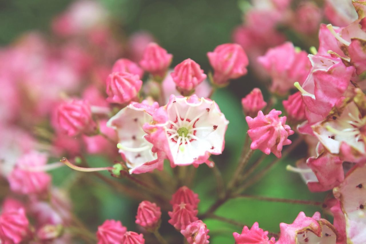flower, nature, pink color, beauty in nature, growth, plant, fragility, no people, petal, outdoors, freshness, blooming, day, flower head, close-up