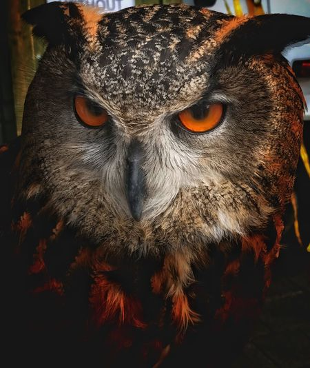 Scarey One Animal Close-up Animal Themes Owl Bird Of Prey Yellow Eyes Animal Eye Bird IPhone Photography The Here And Now Capture The Moment Scarey Eyes Feathers Animal Ears Animal Eyes Beauty In Nature Fear Of The Unknown Moody Orange Eyes Beak Orange Eyed Owl EyeEm Best Shots