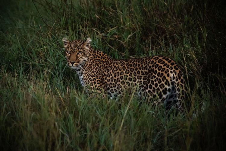 Leopard on grassy land