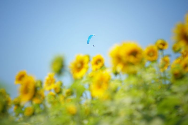 Yellow Flowers Blooming Against Paraglider