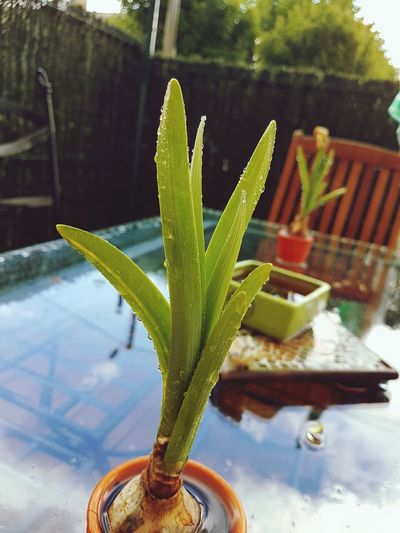 Growth Plant Aloe Green Color Aloe Vera Plant Nature Cactus Outdoors No People Close-up Water Day Freshness Beauty Peace And Love ✌❤ Nature Plant Plants 🌱 Planet Beauty In Nature Green Color