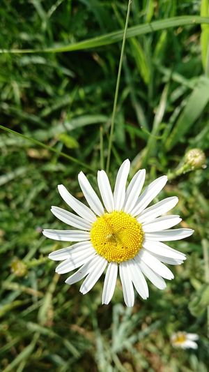 Yellow Summer Petal Springtime Pollen Close-up Plant Daisy Wildflower Blooming Uncultivated