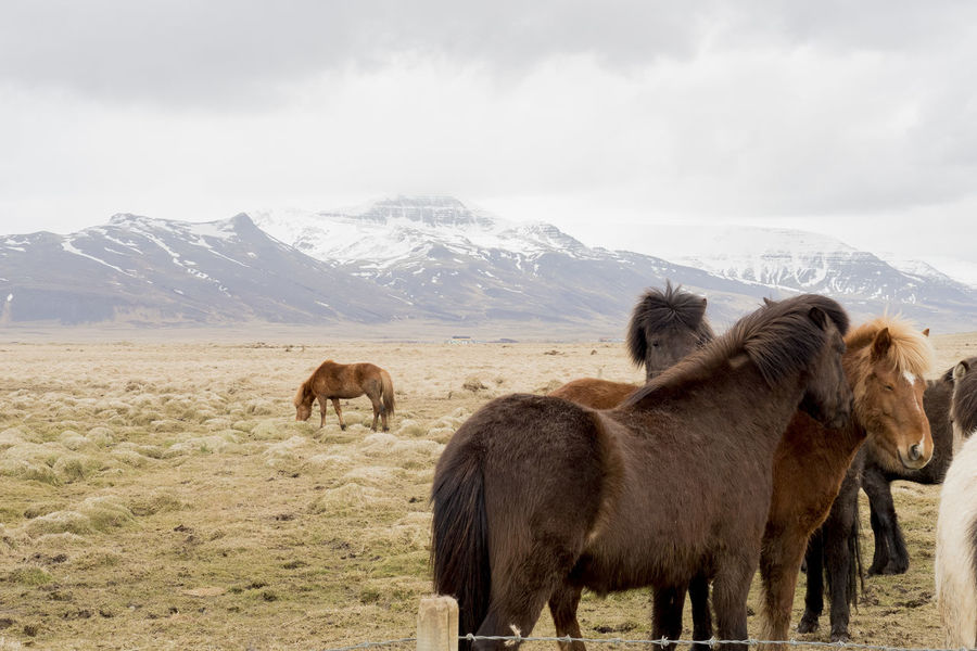 Iceland Iceland Pony Animal Themes Animals In The Wild Beauty In Nature Cloud - Sky Cold Temperature Day Domestic Animals Landscape Livestock Mammal Mountain Nature No People Outdoors Scenics Sky Snow Winter