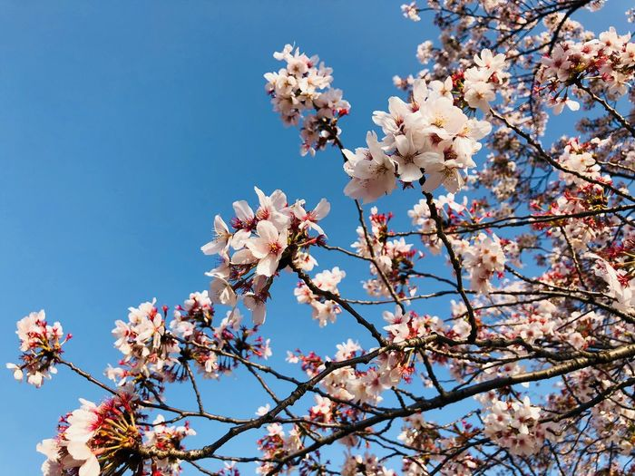 Flowering Plant Low Angle View Sky Blossom Flower Tree Springtime Beauty In Nature Vulnerability  Growth Cherry Blossom Branch Blue Freshness No People Nature Plant Day Fragility Clear Sky