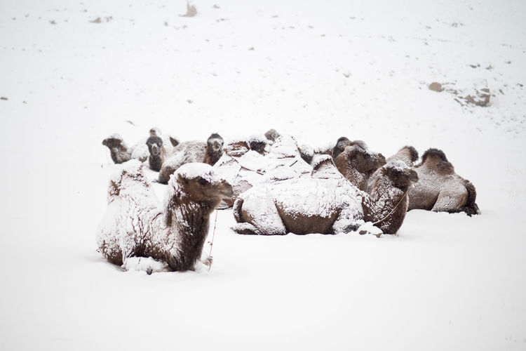 Bactrian camels on snow covered field