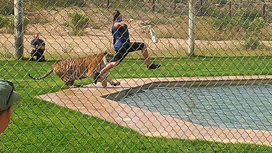 The goal in this game is to get the tiger to jump into the pool during play time without getting mauled. Do you think the tiger went for it? Not this time! Capture The Moment Tiger Crazy Guys Taking Photos Check This Out Living Life With A Smile