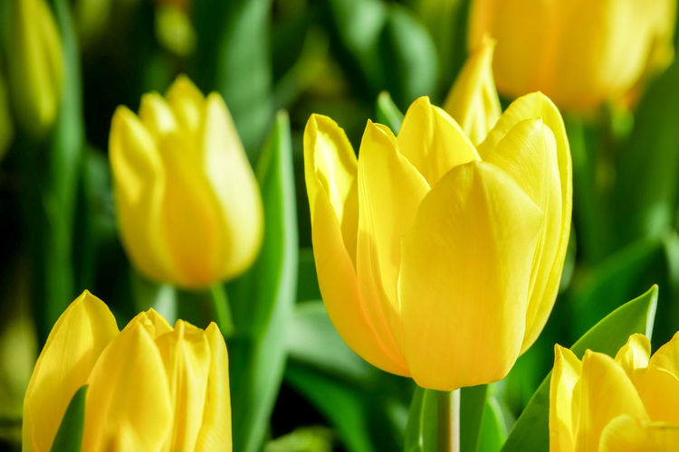 Close-up of yellow tulip plant
