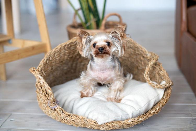 Portrait of dog sitting on basket at home