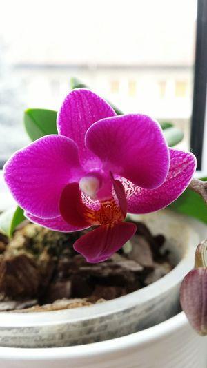 Flower Pink Color Orchid Plant Purple Close-up ...
