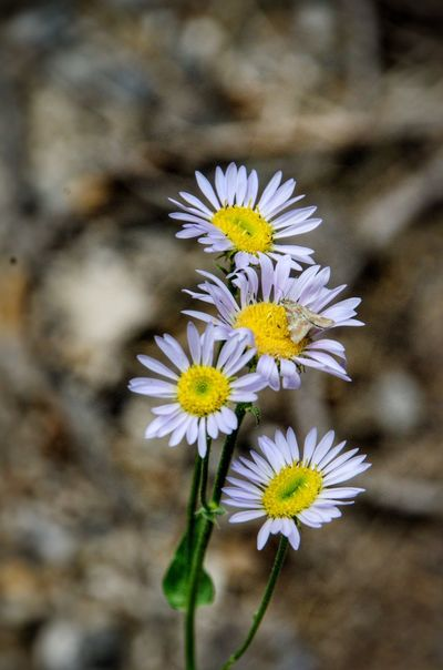 Flowers with moth Flower Flowering Plant Vulnerability  Fragility Freshness Plant Flower Head Petal Beauty In Nature Inflorescence Close-up Growth White Color Yellow Daisy Nature Pollen No People Focus On Foreground Animal