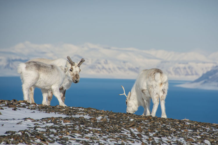 Reindeers standing on field by lake against snowcapped mountains