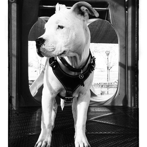 Oneeyewilliethepirate Willy Dogo Pitbull 41 / 2 months