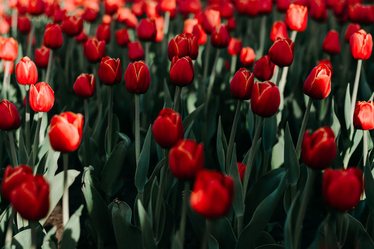 red tulips Flower Plant Flowering Plant Freshness Beauty In Nature Red Growth Vulnerability  Tulip Fragility Close-up Petal Flower Head No People Nature Land Field Backgrounds Inflorescence Full Frame Outdoors Flowerbed