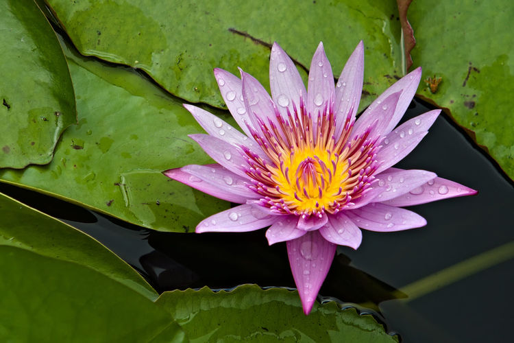 Flower Flowering Plant Plant Water Lily Leaf Beauty In Nature Fragility Plant Part Petal Freshness Flower Head Inflorescence Growth Close-up Pond Water Pink Color Lotus Water Lily Floating On Water Pollen No People Outdoors Springtime Purple