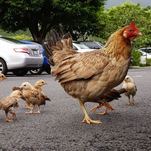 Close-Up Of Hen And Baby Chickens On Street