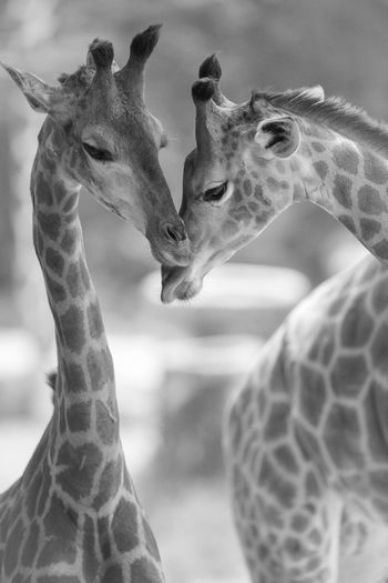 Close-up of giraffes
