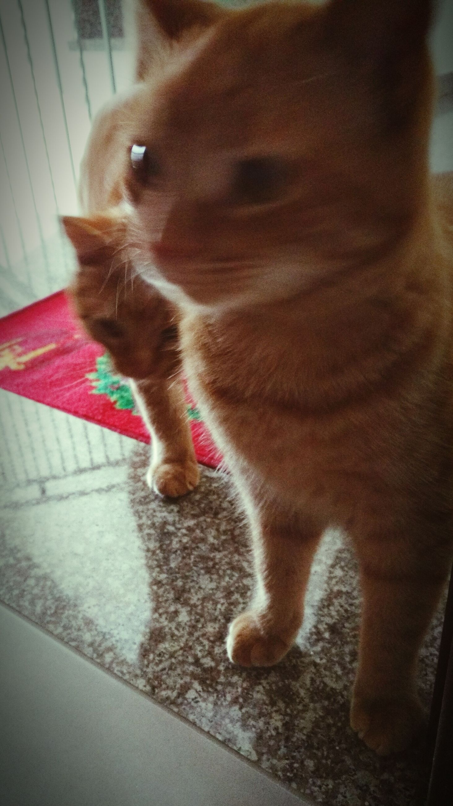 pets, one animal, domestic animals, domestic cat, animal themes, mammal, feline, cat, indoors, no people, animal leg, close-up, day, at home