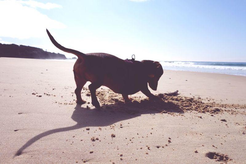 Dachshund Digging Sand At Beach