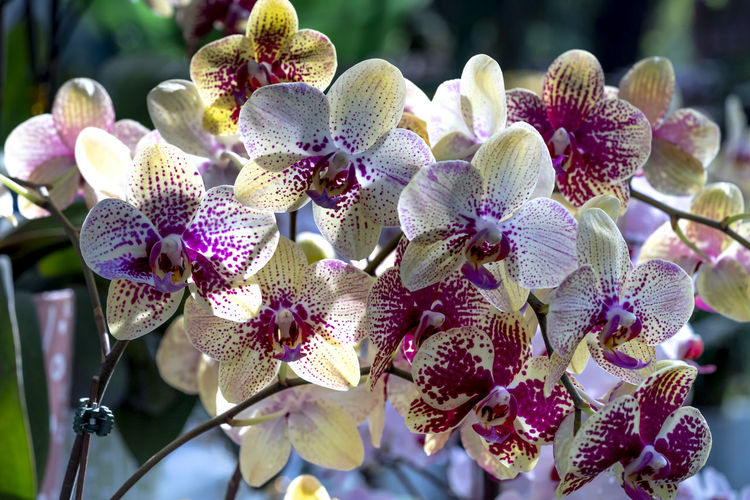 Colorful potted phalaenopsis orchids Flowering Plant Beauty In Nature Flower Head Flower Plant Freshness Growth Fragility Vulnerability  Petal Close-up Focus On Foreground Inflorescence Nature No People Day Outdoors Phalaenopsis Orchid