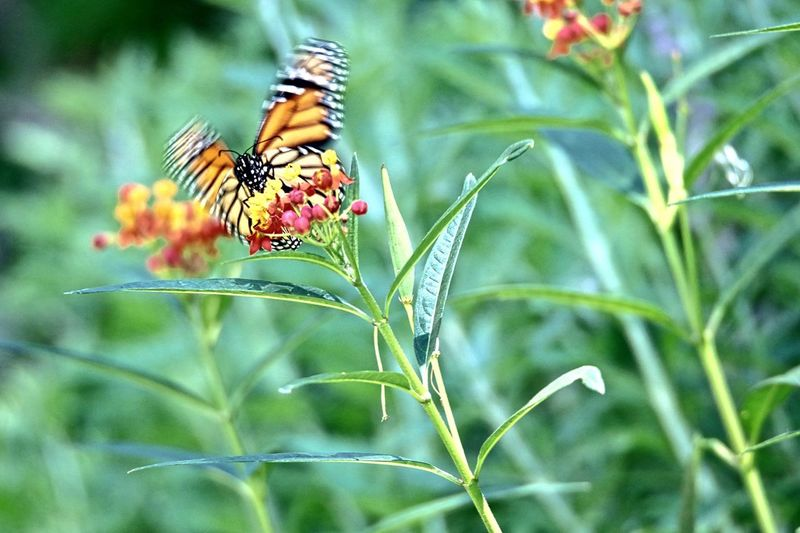 Animal Themes Animal Wildlife Animals In The Wild Beauty In Nature Butterfly Butterfly - Insect Close-up Day Flower Fragility Freshness Growth Insect Monarch Monarch Butterfly Nature No People One Animal Outdoors Painted Lady Painted Lady Butterfly Perching Plant