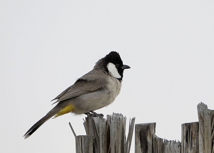 White Eared Bulbul at the Dubai Desert Conservation Reserve Animal Themes Animal Wildlife Animals In The Wild Bird Bulbul Day Dubai Dubai Desert Dubai Desert Conservation Area Dubai Desert Conservation Reserve Dubaidesert Dubaidesertconservationreserve Nature No People One Animal Outdoors Perching UAE