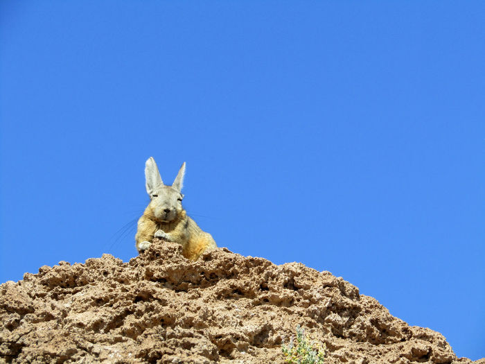 Hare enjoying the sun at Isla Incahuasi, Bolivia. Isla Incahuasi Low Angle View Rock Animal Animal Themes Day One Animal Outdoors Salar De Uyuni