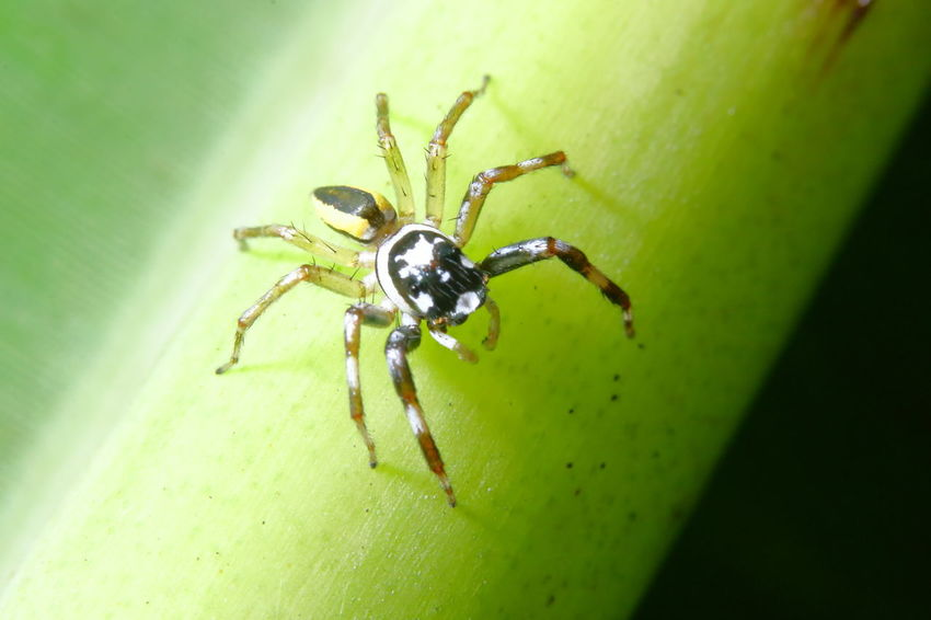 Jumping Spider Jump Spider A Nimal Animal Animal Leg Animal Themes Animals In The Wild Arachnid Arthropod Backgrounds Beauty In Nature Bug Life Close-up Day Green Color Insect Invertebrate Leaf Macro Nature One Animal Selective Focus Spider Wallpaper