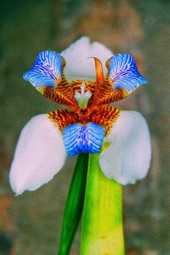Close-up of purple iris flower