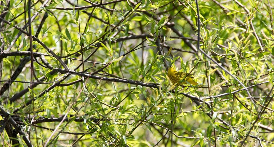 American Yellow Warbler Nature Yellow Branch One Animal Tree Animals In The Wild Animal Wildlife Outdoors Beauty In Nature