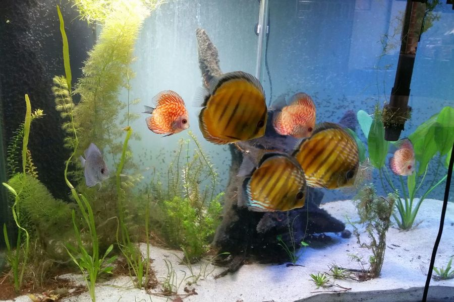 Discus Aquarium Life Fish #aquarium #fishtank #tagsforlikes #fishporn #instafish #instagood #swim #swimming #water #cora L #reef #reeftank #tropical #tropicalfish #aquaria #photooftheday #saltwater #freshwater Beautiful Ocean Watertank [ Tropical Showcase: January