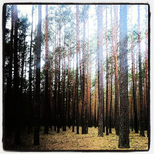 Любимый  лес.