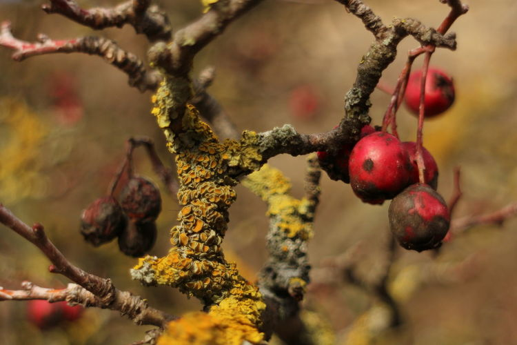 Hawthorn Autumn Moldova RepublicOfMoldova Beauty In Nature Branch Close-up Focus On Foreground Fruit Fruits Hanging Hawthorn Nature No People Red Tree EyeEmNewHere
