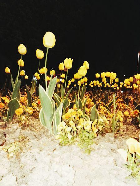 Night Photography Yellow Tulips Croatia ❤
