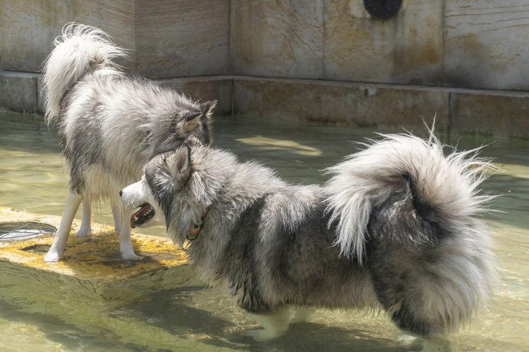 Monkeys in a water