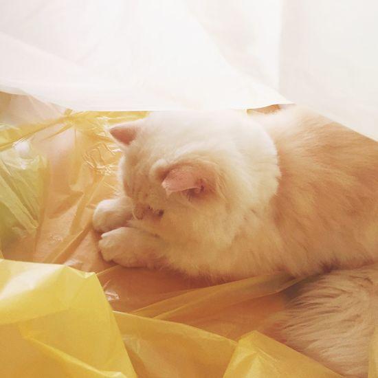 Yellow Cat Heema