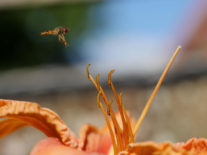 Dragonfly Flying Over Orange Lily Flower