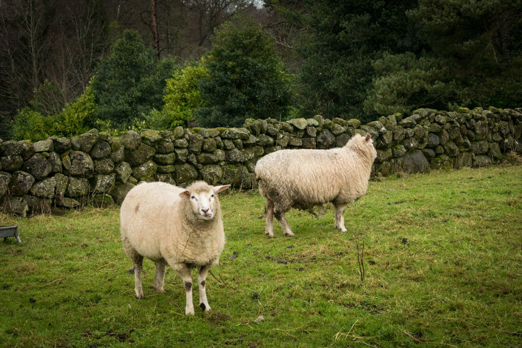 Sheep standing on grass