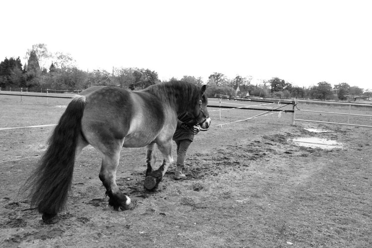 EyeEm Selects Draft Horses Renish German Coldblood Drafthorse Horse Photography  Black And White Horse Sky Ranch Paddock