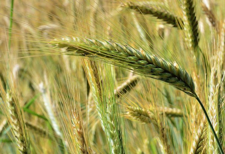 Crop  Cereal