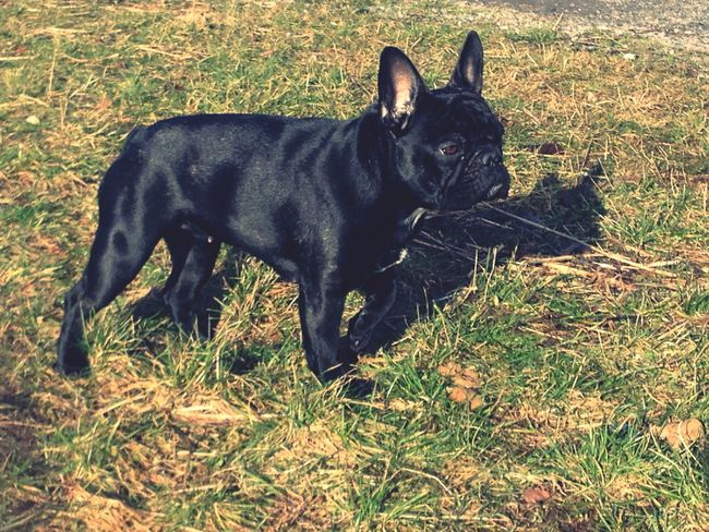 French Bulldog My Dogs Are Cooler Than Your Kids Doris