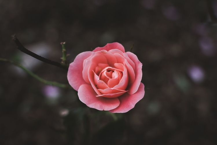 Singular Rose... Moody Pink Color Visual Nikon Backgrounds Flower Petal Fragility Nature Flower Head Focus On Foreground Beauty In Nature Growth No People Freshness Rose - Flower Close-up Outdoors Plant Day Blooming