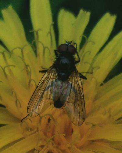 Macrophotography Macro Flowers Fly Dandelion Nature Yellow Beautifully  муха одуванчик макро макросъемка фотонаприроде Asuszenfone