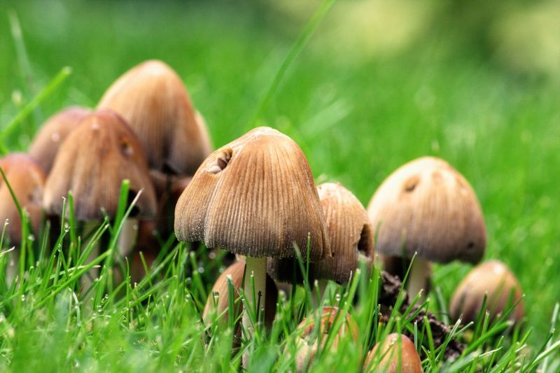 Mushroom Fungus Grass Toadstool Edible Mushroom Nature Growth Fly Agaric Close-up Beauty In Nature Outdoors Grassland Field Fragility No People Day Freshness First Eyeem Photo