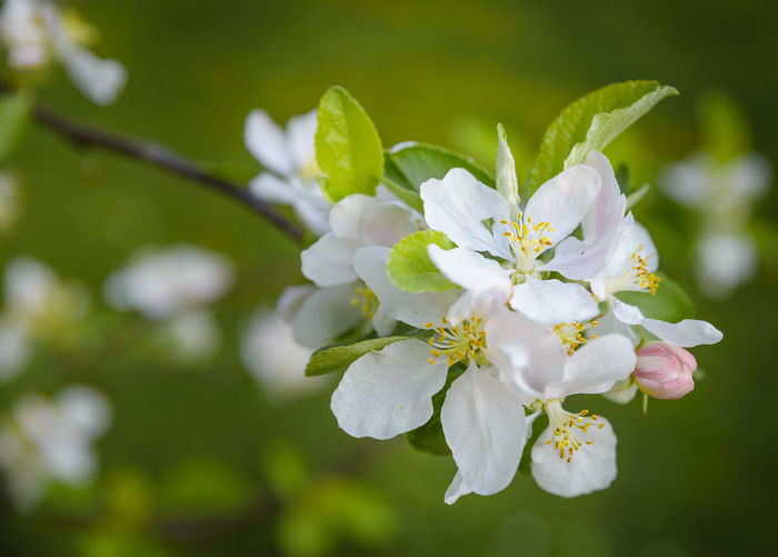 Beauty In Nature Blooming Blossom Branch Close-up Day Flower Flower Head Focus On Foreground Fragility Freshness Green Growth Nature No People Outdoors Petal Spring Spring Flowers Springtime Tree White White Color White Flower