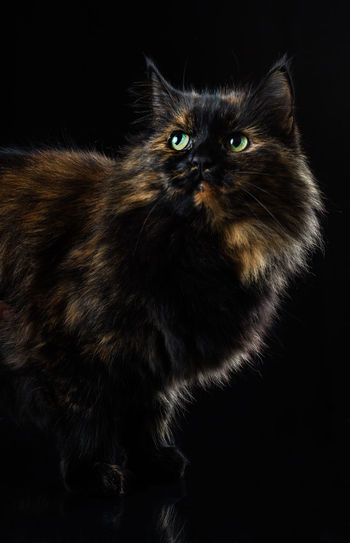 Suske, the cat. Black Black Background Black Color Cat Domestic Cat No People Pets Staring
