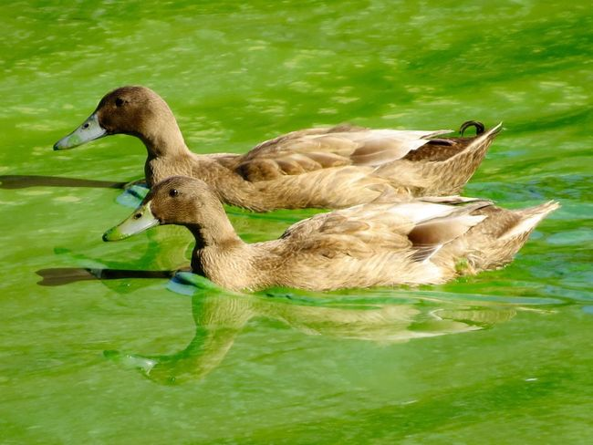 Ducks in Muck! Duck Bird Water Animal Themes Lake Nature Side View Water Bird Beauty In Nature Floating On Water Animals In The Wild Outdoors green