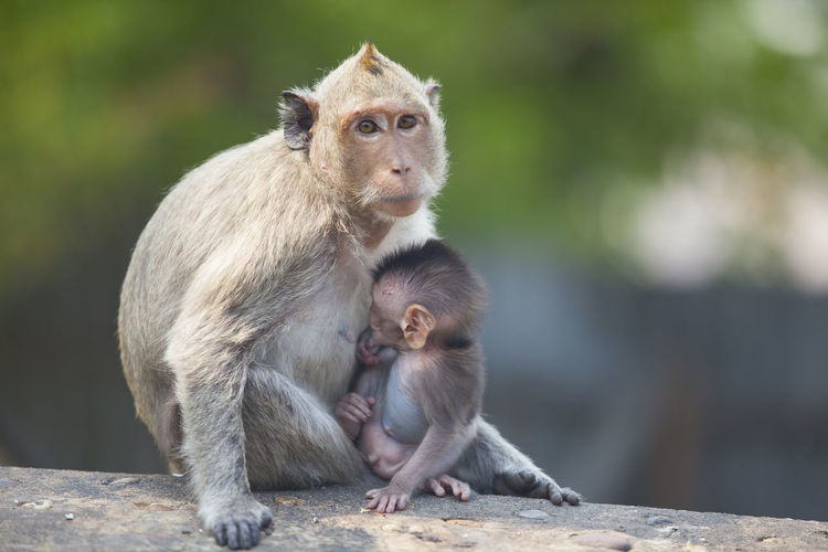 Portrait of monkey with infant on wood