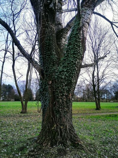 Alte Birke im Park Burke Growth Green Color Outdoors Sky Grass Tree Trunk Beauty In Nature